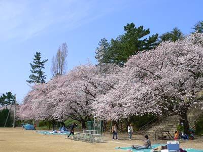 内野小学校グラウンドの花見 ...